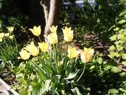 Тюльпаны хамелеоны