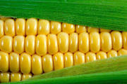 Кукуруза на экспорт 50000 т. Поставка FOB  Одесса