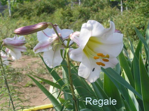 Лилии сортовые (луковицы) 5