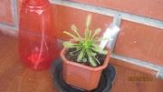 насекомоядные растения(Росянка, Непентес, Жирянка)