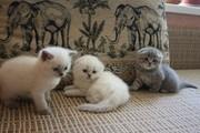 Резерв котят с родословной